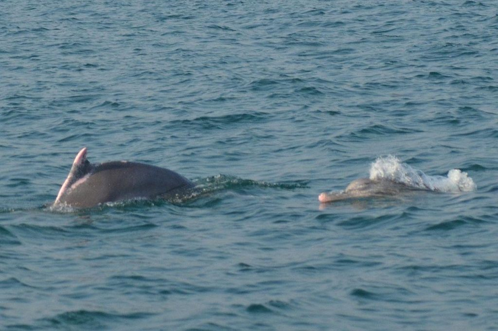 Endangered dolphin population in Chilika jumps