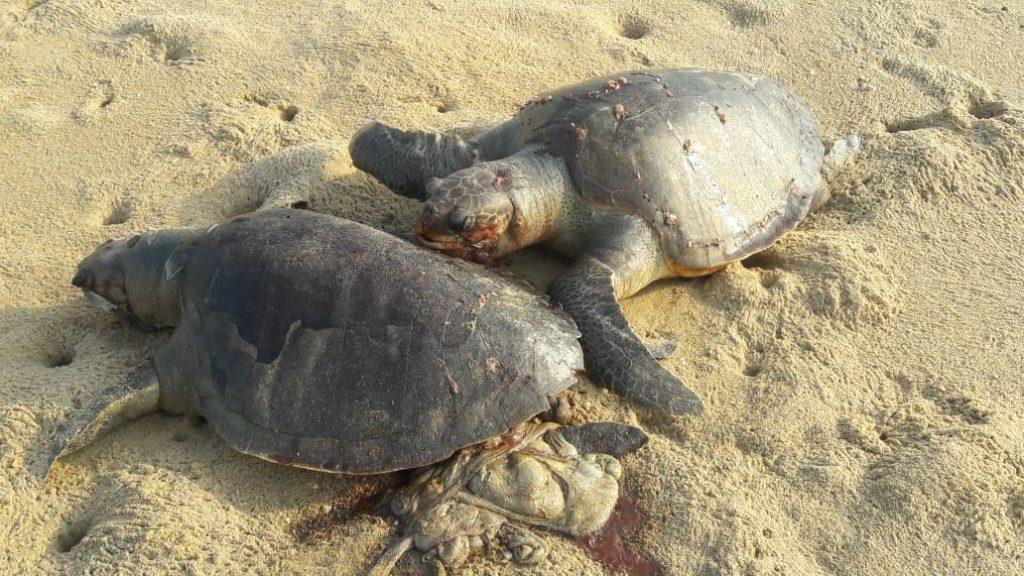 170 Olive Ridley carcasses washed ashore