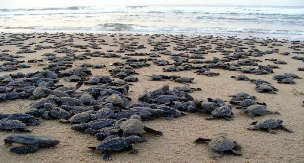 Gahirmatha witness to millions of baby Olive Ridleys' journey to the sea