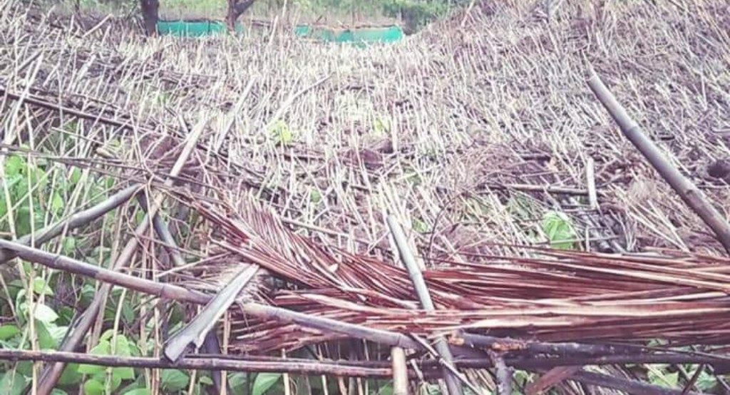 Betel leaf farmers stare at a bleak future after vines damaged in cyclone
