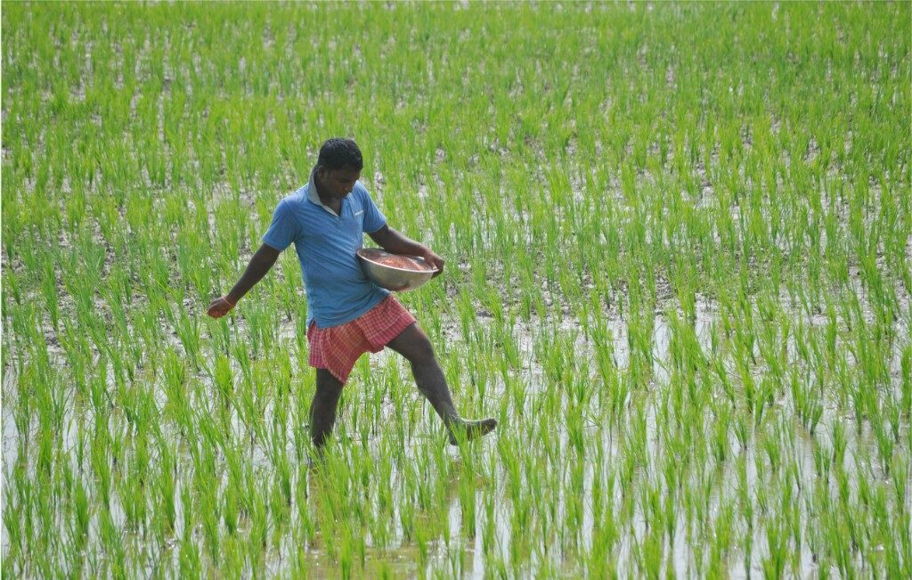 Rainwater stagnates in fields, rotting paddy as weeds clog Hansua