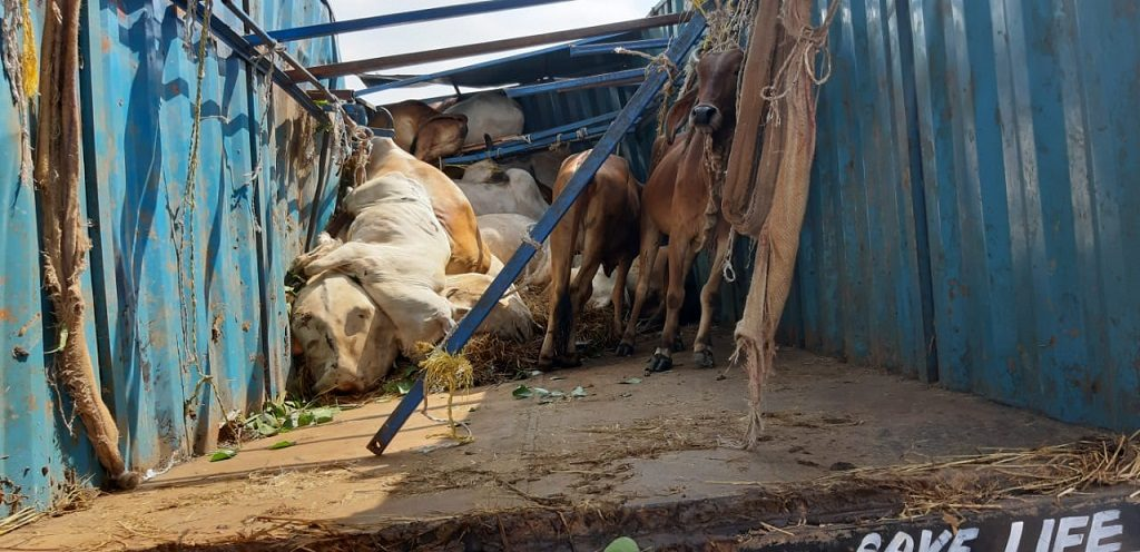 Over 19 cattle die as the vehicle carrying them overturns