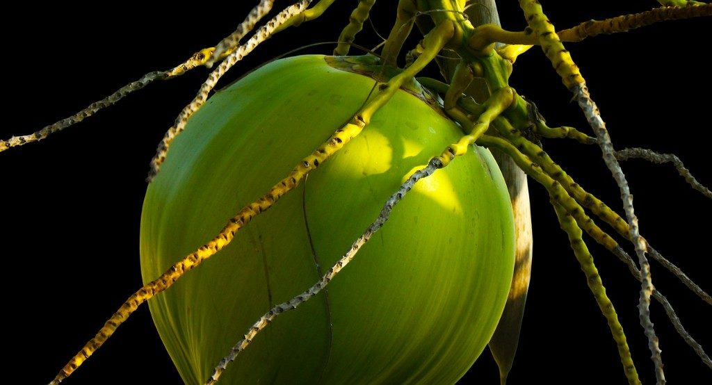 Local administration to distribute 60,000 coconut seeds in Jagatsinghpur