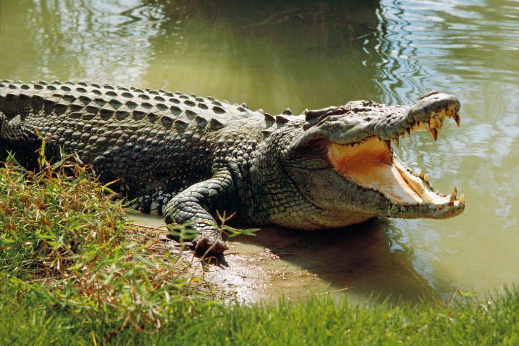 Mangled body of crocodile victim found from Brahmani riverbank