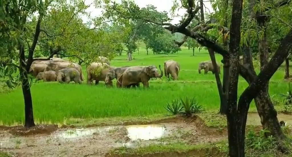 Forest officials fail to drive away rampaging Jumbo herd from village