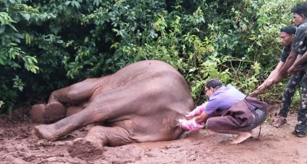 Veterinarians tend to sick wild elephant surrounded by aggressive herd
