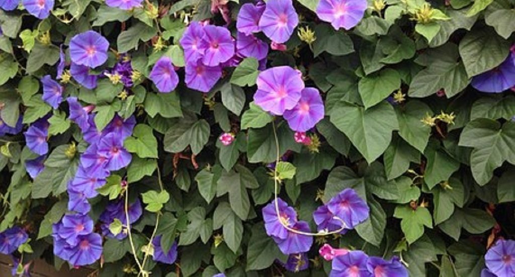 Ornamental creepers to help beautify cityscape soon