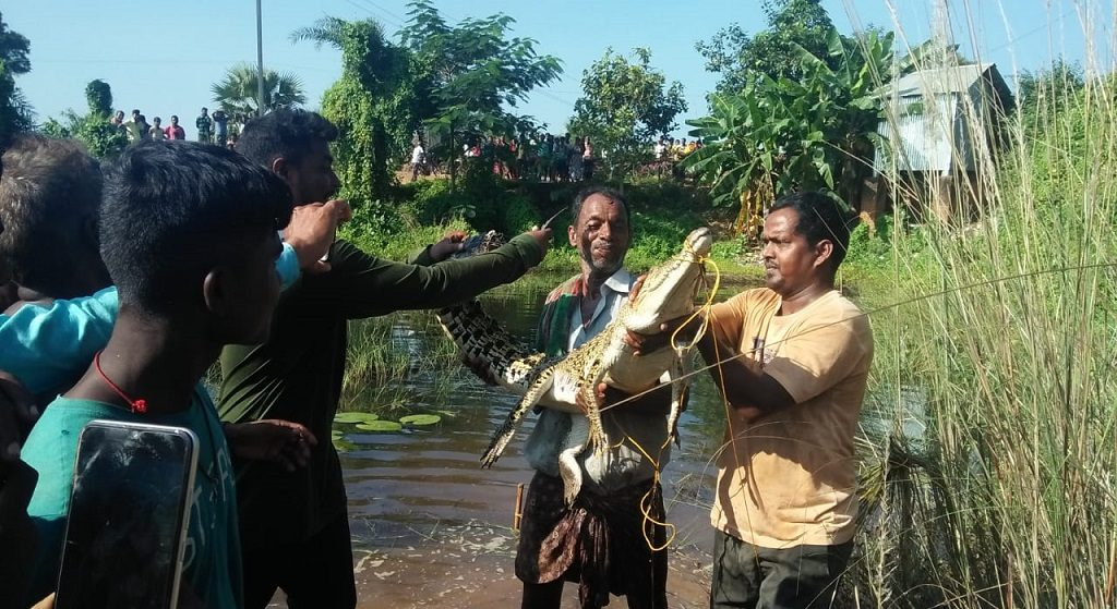 Forest officials release strayed crocodile in Bhitarkanika