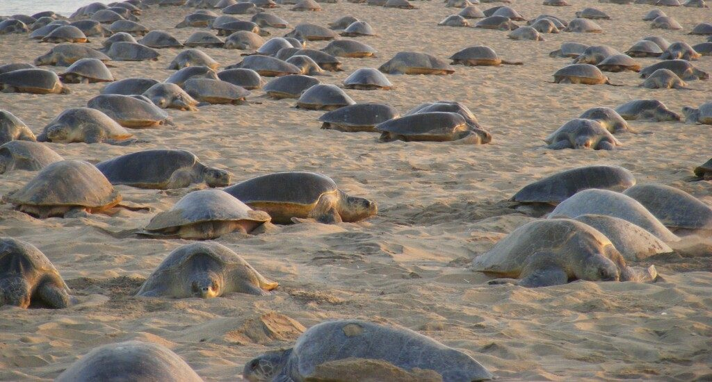 141 Olive Ridley dead turtles found dead