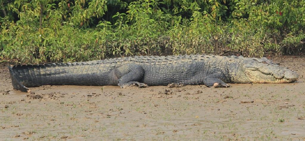 Nine-day-long crocodile census kicks off at Bhitarkanika