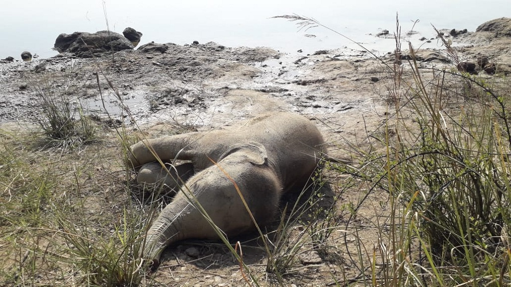 Carcass of elephant calf found