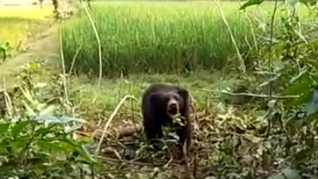 Bears attack two in Nilgiri