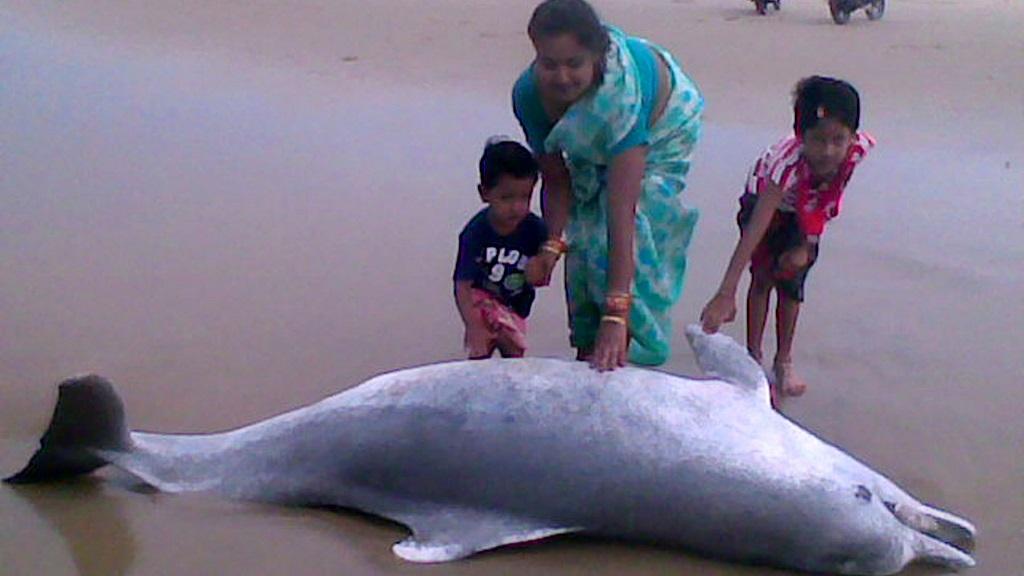 Dolphin population declines in Gahiramatha