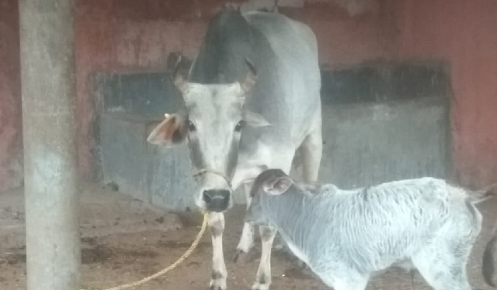 Special: How the first Binjharpuri female calf born out of artificial insemination