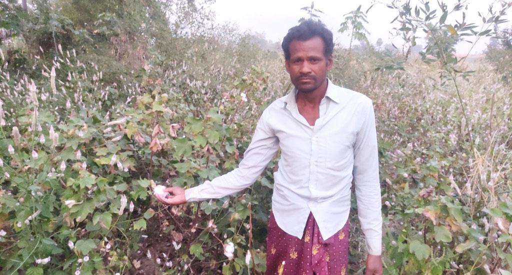 Cash crop cotton loses lustre for Ganjam farmers